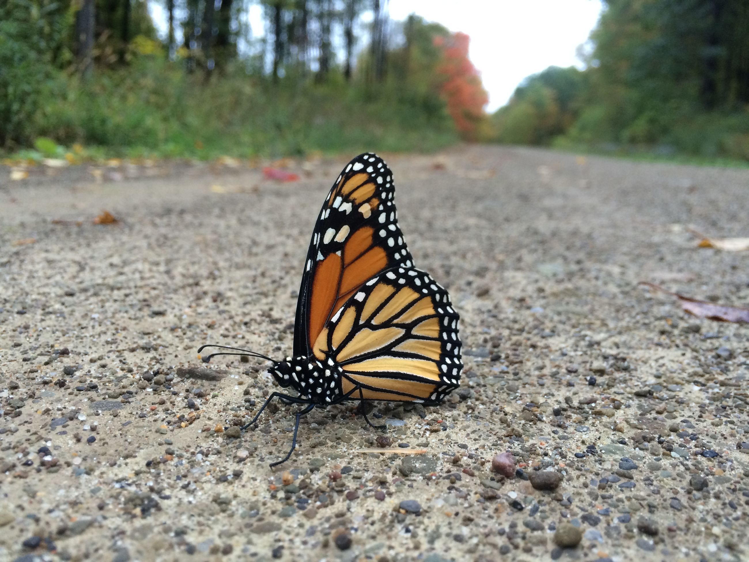one animal, butterfly - insect, animal themes, animal markings, insect, animals in the wild, wildlife, butterfly, natural pattern, close-up, focus on foreground, nature, beauty in nature, outdoors, animal wing, no people, day, selective focus, animal antenna, fragility