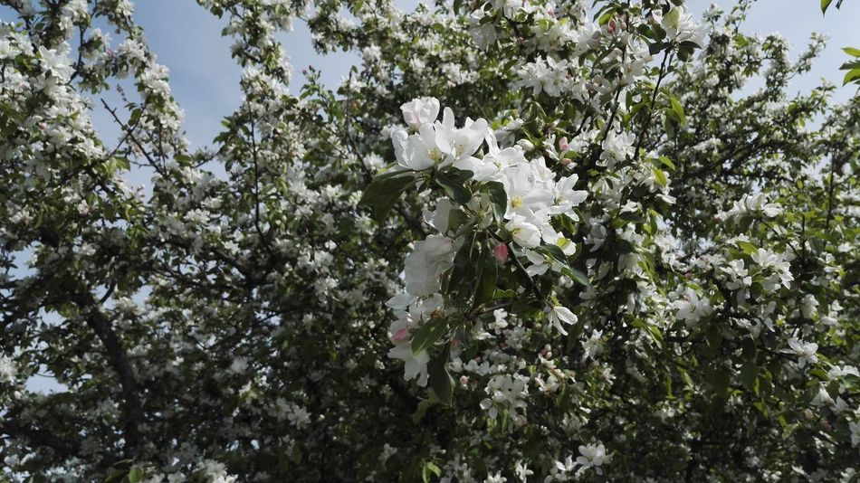 Apple Blossom Apple Tree Blooming Blossom Botany Day Flower Flower Head Nature No People Springtime Tree White Color