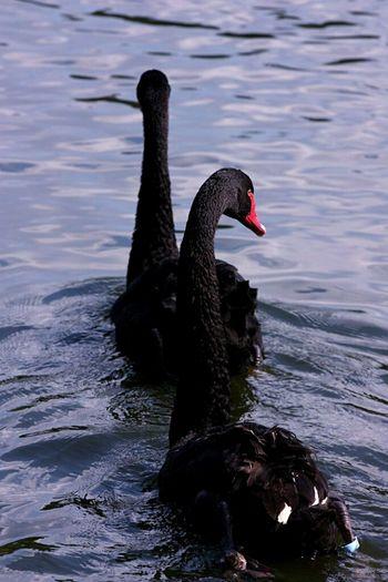 EyeEmRussianTeam Bird Bird Photography Zoo Swans Black Swans