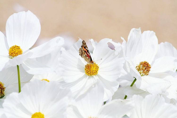 Butterfly!..... Flower Freshness Fragility Petal Flower Head White Color Close-up Beauty In Nature Blossom White Springtime Botany Growth Selective Focus Stamen In Bloom Daisy Nature Pollen Day Flowers Beauty In Nature Butterfly
