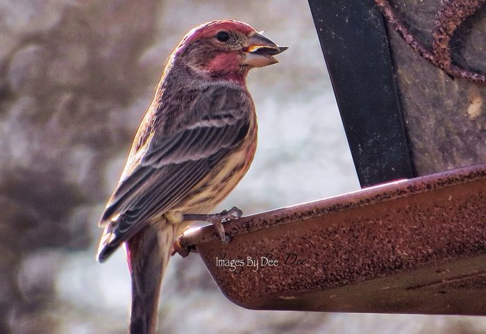 Fond memory: two summers ago.. Correction; this is a male house finch Bird Photography Birdwatching Birds_collection Bird Watching Birdfeeding Bird Feeder Sunflower Seeds Feathered Friends Check This Out Missing Summer Repost Serenity Natural Beauty Pattern, Texture, Shape And Form Mybackyard God's Beauty Deep Breath What Does Peace Look Like To You? Flashback Nature Photography Grateful Blessed  Lessismore Laugh Now Cry Later Peace 🙏🏻🕊🌸🌺