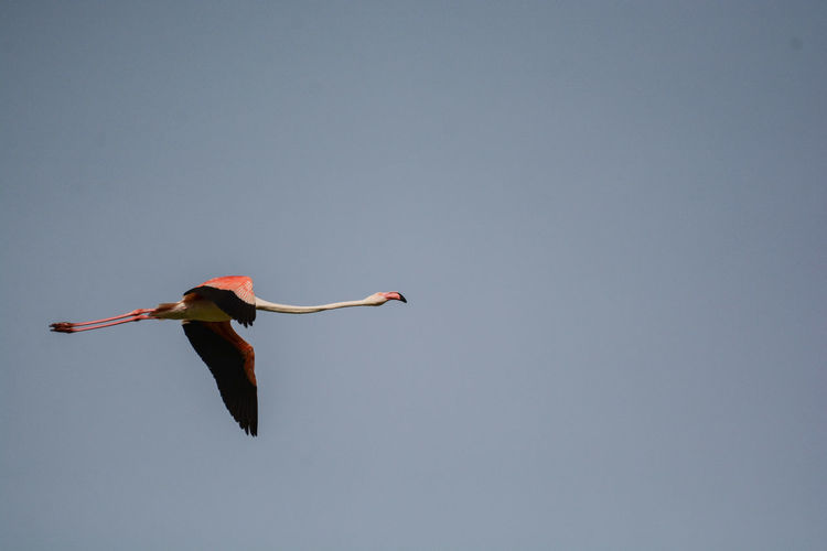 Low angle view of flamingo flying in sky