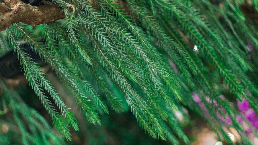Full frame shot of pine leaf
