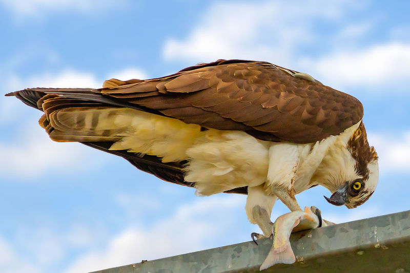Bird Animal Sky Vertebrate Low Angle View Cloud - Sky One Animal Animal Themes Animals In The Wild Animal Wildlife Day Nature No People Perching Bird Of Prey Outdoors Architecture Focus On Foreground Zoology Osprey With A Fish
