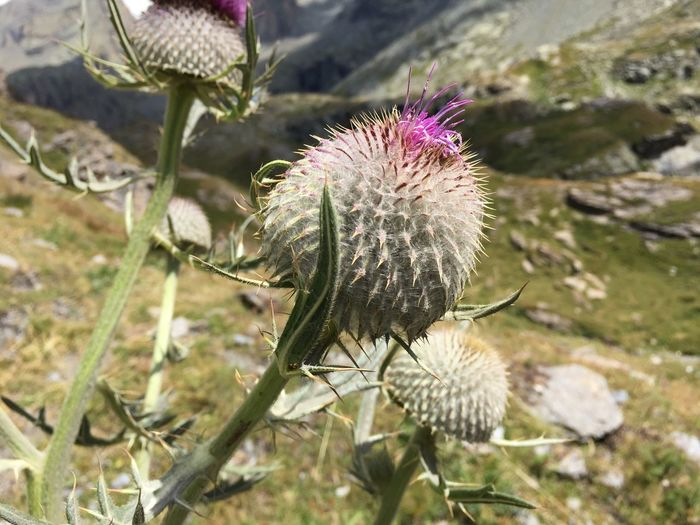 Cuneo Valli Cuneesi Pontechianale Monviso Fragility Growth Freshness Stem Beauty In Nature Plant Focus On Foreground Close-up Nature Bud Season  Botany Blossom In Bloom Day Flower Head Thistle