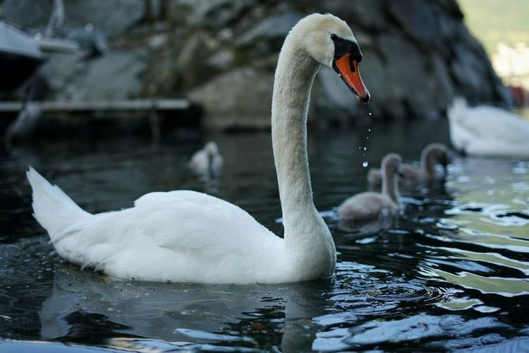Cigni Swans ❤ Lago Lake