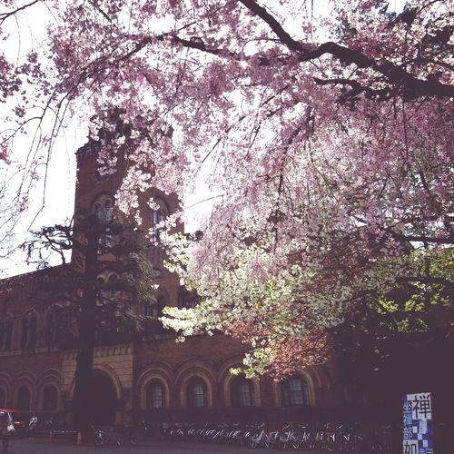 Architecture Spring TreePorn Sakura