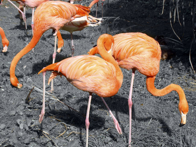 Group of bright orange glowing flamingos grassing. With a black white background of my colored details collection Beautiful Bright Bright Colors Leg Orange Abstract Accent Animal Themes Animal Wildlife Animals In The Wild Beauty In Nature Bird Black And White Colored Details Collection Day Flamingo Large Group Of Animals Nature No People Orange Color Outdoors Water