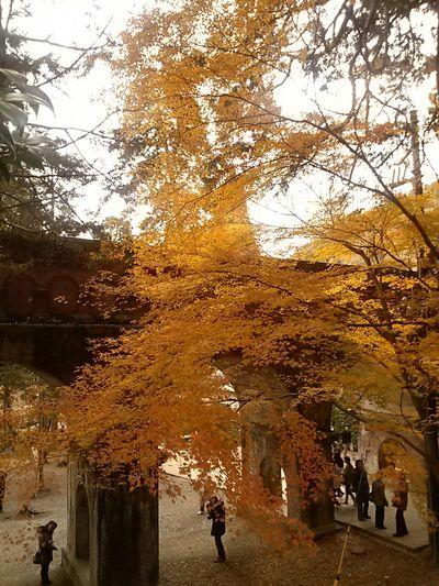 Autumn Colors 水路閣 南禅寺 Kyoto,japan Japan Hugging A Tree