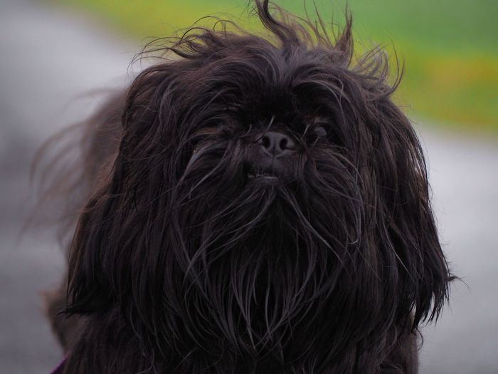 Shih tzu Dogs Of EyeEm Dog Love Dogslife Dog❤ Portrait Dog Pets Close-up Tangled Hair Hairy  Hair Animal Hair Lap Dog Shih Tzu