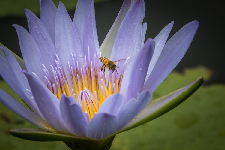 Close-up of bee pollinating on wet blue lotus