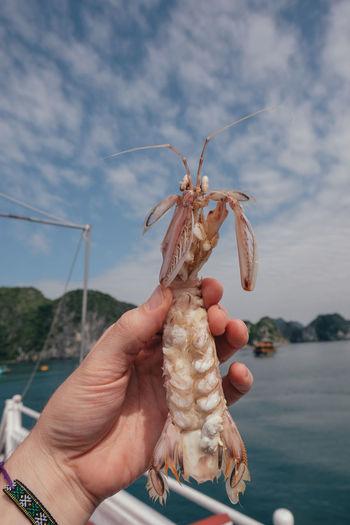 Cropped image of hand holding mantis shrimp