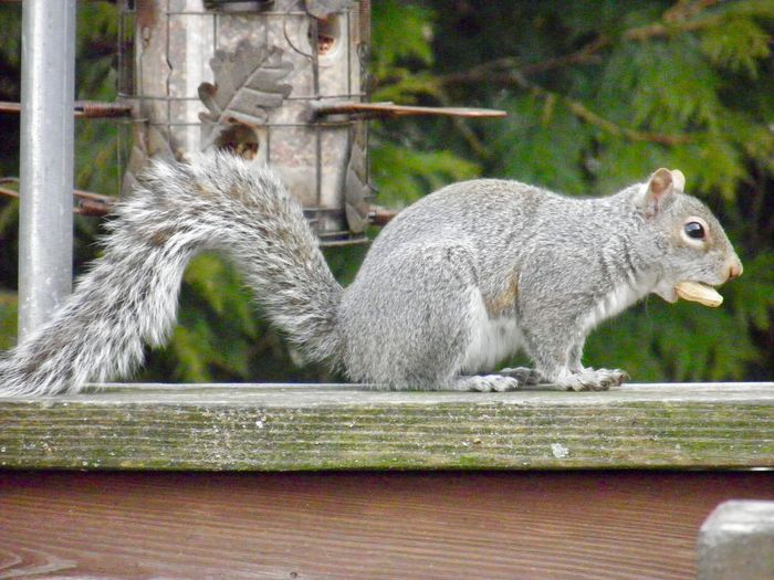 Squirrel perched on a wooden railing eating a peanut closeup focus on the foreground outdoors Animal Themes One Animal No People