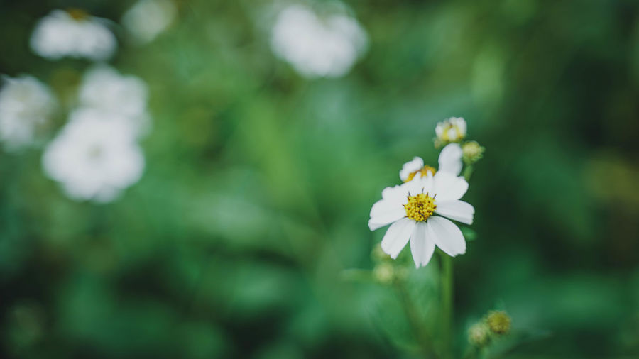 Flower Flowering Plant Plant Freshness Fragility Vulnerability  Beauty In Nature Growth Petal Inflorescence Close-up Flower Head White Color Focus On Foreground Day Selective Focus Nature No People Outdoors Pollen Springtime Small