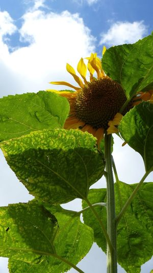Agriculture Gardening Beauty In Nature Close-up Cloud - Sky Day Flower Flower Head Flowering Plant Fragility Freshness Green Color Growth Inflorescence Large Leaves Leaf Nature No People Outdoors Plant Plant Part Sky Summer Sunflower Vulnerability