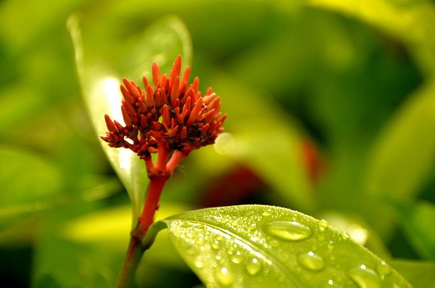 Animals In The Wild Ant Beauty In Nature Close-up Dew Drops EyeEm Nature Lover EyeEmBestPics EyeEmNewHere Flower Freshness Green Leaf, Fresh And Beautiful Green Leaves Insects  Johor Bahru Malaysia Morning Dew Nature Red Flower Universiti Teknologi Malaysia Wet Leaves Wild Flower