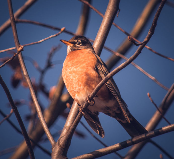 Perching Bird Animal Wildlife Animal Themes Wildlife & Nature Wildlife Photography American Robin My Point Of View My Unique Style Nature Photography Wildlife And Nature Wildlife Photos Wildlife Birds Bird Photography Riverside Photography