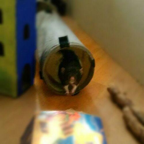 Cutie 😄 Ratstagram Ratties ᴘʜᴏᴛᴏɢʀᴀᴘʜɪᴇ Ratte Animals ᴘʜᴏᴛᴏ Rats Rattie Animal Pet ʟᴏᴠᴇɪᴛ Rat Cutie ʜᴏᴍᴇ
