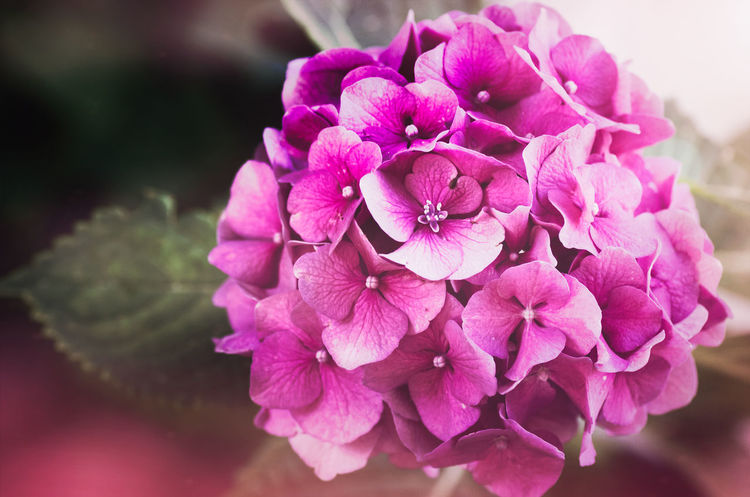 floral theme - pink hortensia inflorescence Beauty In Nature Botany Bunch Of Flowers Close-up Day Flower Flower Arrangement Flower Head Flowering Plant Focus On Foreground Fragility Freshness Growth Hydrangea Inflorescence Lilac Nature No People Outdoors Petal Pink Color Plant Purple Vulnerability