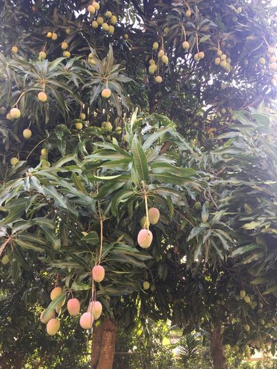 Mangas brasileiras Growth Tree Leaf Green Color Fruit Nature No People Outdoors Agriculture Food And Drink Day Low Angle View Freshness Close-up Beauty In Nature Orange Tree