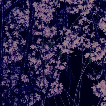 Sakura Cherry Blossoms Flower Collection Flower Photography Pink Flower Hello World EyeEm Flower Enjoying Life Taking Photos Relaxing Warking♡ Night Photography Night Sky Night View Nightwalk Japan Photography 角館 武家屋敷
