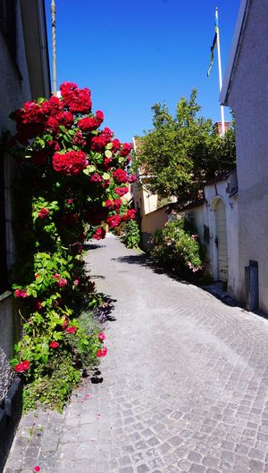 """Gotland is called """"Island of roses"""" and it's Easy to understand why. Sweden Nordic Flowers"""