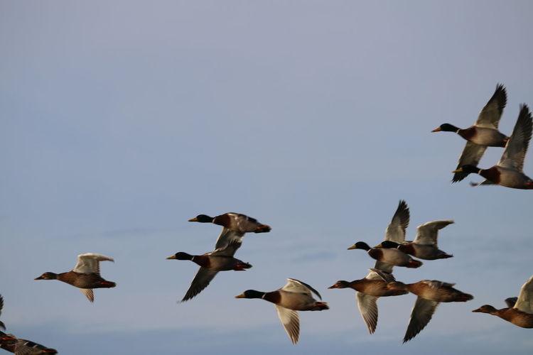 Enten Enten Flug Enten Am See Enten Am Teich Entenküken Ententeich Entenvögel Teich See Enten Füttern Entenfamilie