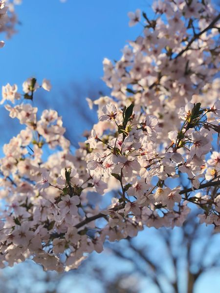 cherry blossom Plant Fragility Vulnerability  Blossom Tree Flowering Plant Beauty In Nature Flower Freshness Branch Springtime Cherry Blossom Growth Sky Nature Close-up No People Cherry Tree Day Low Angle View
