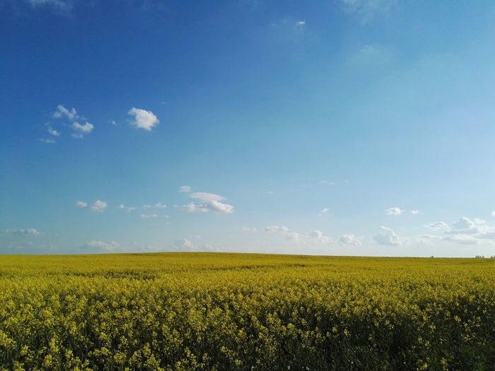 Agriculture Crop  Field Nature Sky Cloud - Sky Flower Summer Plant Landscape Tranquil Scene Beauty In Nature Rural Scene