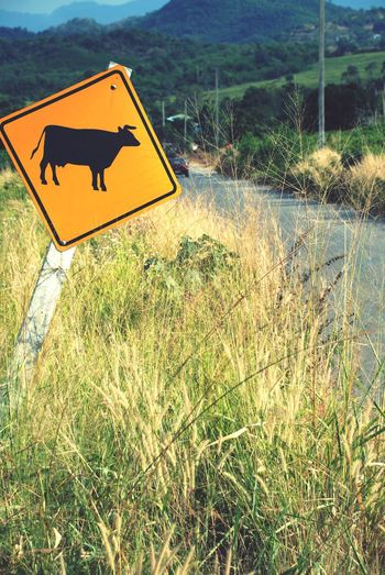 My Commute My Commute-2016 EyeEm Photography Awards Beware Beware Of Cow Slow Down On The Road Road Street Grasses Sky On The Way Travel Beware Board Board Traffic Sign Traffic Signal Beware Label Traffic Label