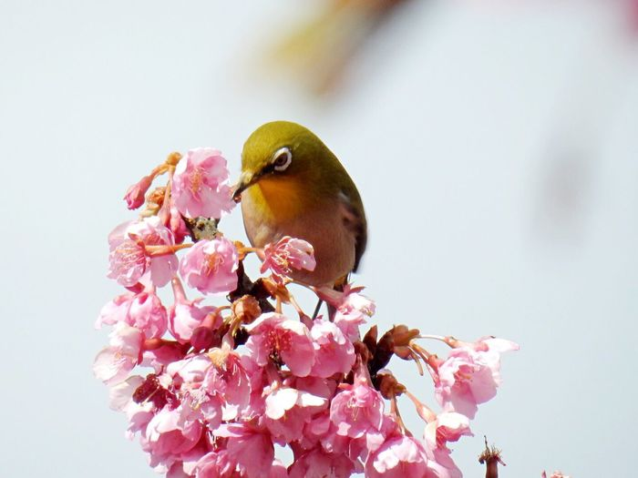 Kawazu Cherry Tree Japanese White-eye Spring! Ehime Nature Nature_collection Flowers Life Japanese Style 河津桜 メジロ 野間馬ハイランド