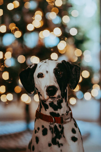Portrait of dog with christmas lights