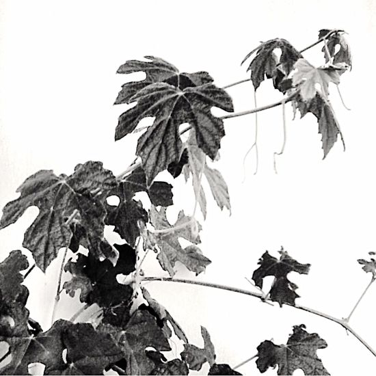 I just love this photo!! Grapevine Beautifulbw JustBeautiful Blackandwhite Black And White Blackandwhite Photography Blackandwhitephotography Black & White Black And White Photography Black&white Bwporn Growing Foliage Plant Beauty In Nature Nature Leaf Vein Outdoors Texas Made Southtexas Plant Life Freshness Full Frame Growth Leaf