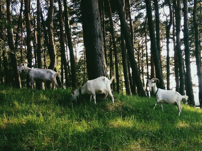 Friends💕Tree Animal Themes Nature Domestic Animals Mammal Grass Green Color No People Grazing Growth Beauty In Nature Day Outdoors Sheep Summer Nature Growth Plant Freshness Headshot