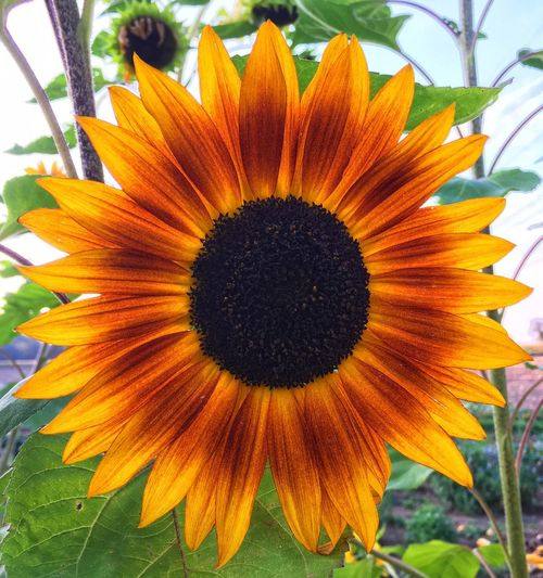 Orange Color Plant Flower Flowering Plant Growth Flower Head Inflorescence Close-up Beauty In Nature Nature Day Outdoors Sunflower No People Yellow Summer In The City
