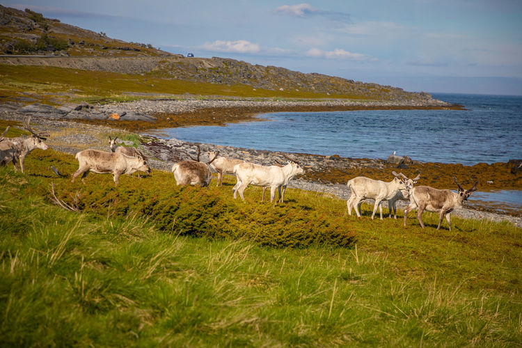 Norway Scandinavia Animal Animal Themes Beauty In Nature Day Domestic Domestic Animals Field Grass Group Of Animals Herbivorous Land Landscape Livestock Mammal Nature No People Nord Outdoors Pets Plant Sky Vertebrate Water