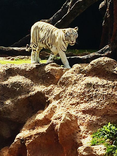 Zoology Tiger Blackandwhite Zoo Animal Predator Pretty
