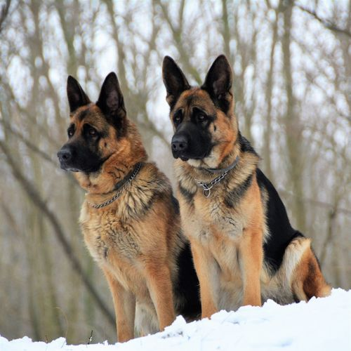 German shepherds relaxing on snow covered field during winter
