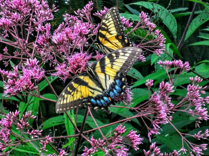 Butterflies Butterflyporn Butterflybush Tigerswallowtail Flyinginsect Yellowbutterfly
