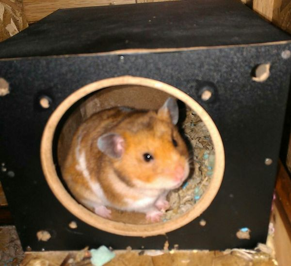 Eda in her cubby. Hamster Cute Pets Love R.I.P Missing You Syrian Hamster