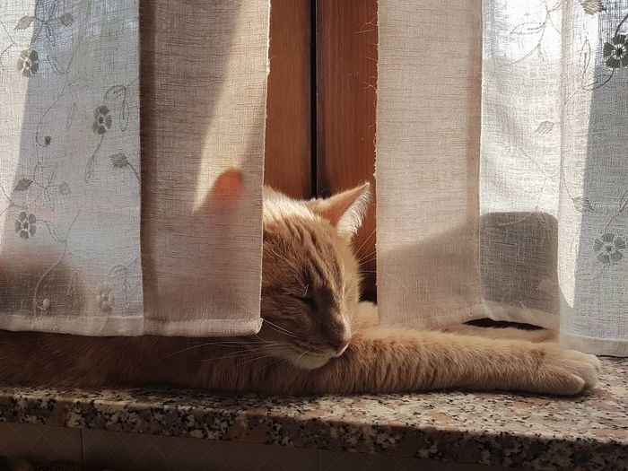 tepore Gatto Lombardia Italy Lombardy Achille Orange Cuddles EyeEm Best Shots EyeEm Selects Love Feelings No Words Needed Warm Sun Sunny Day Curtain Drapes  Window Close-up