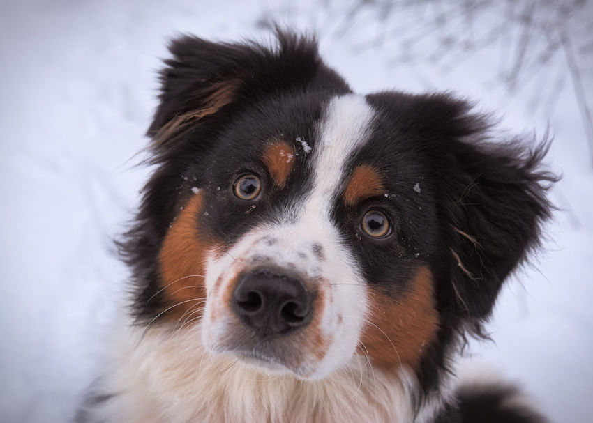 Doglet discovering snow in Glen Lyon, Perthshire Aussie Shepherd Australian Shepherd  Beautiful Close-up Cute Cute Pets Dog Dogs Eyes Outdoors Portrait Puppy Love
