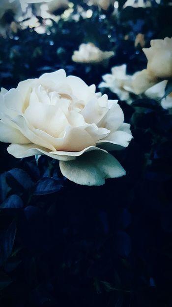 Flowerporn Whiterose Twilight