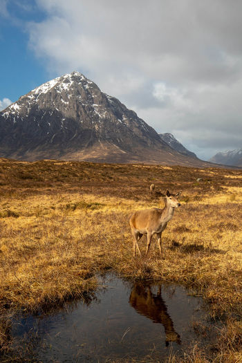 Deer standing on grassy field against mountain