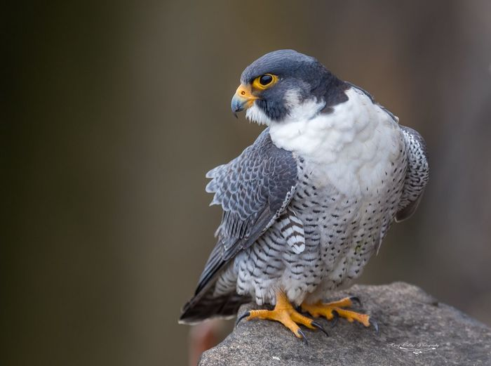 Peregrine falcon portrait Falcon Peregrine Bird Perching Animal Wildlife One Animal Animal Themes Animals In The Wild Nature Bird Of Prey Close-up Outdoors