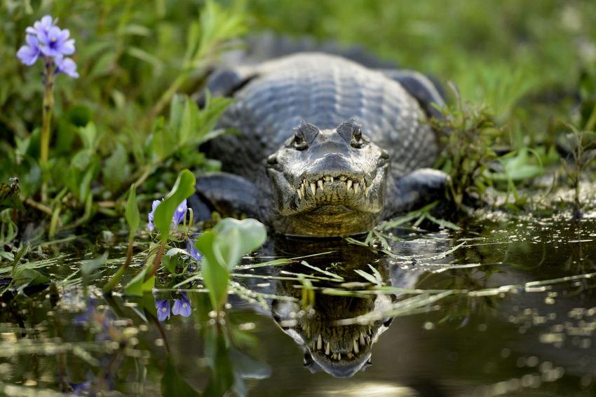 Yacaré Reflection Animal Animal Themes Animal Wildlife Animals In The Wild One Animal Reptile Water Yacare