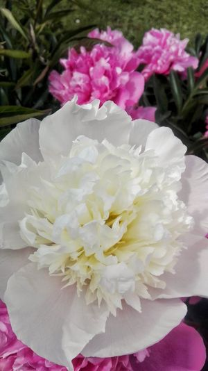 Flower Petal Nature Flower Head Beauty In Nature Peony  Pink Color Fragility Freshness Blossom No People Springtime Close-up Plant Day Outdoors Water