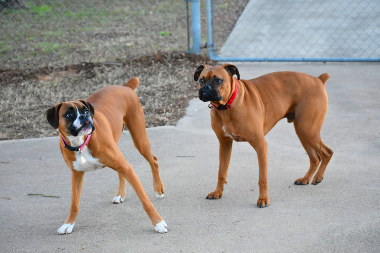 Boxer breed dogs making funny faces Animal Themes Day Dog Domestic Animals Expression Faces Funny Mammal No People Outdoors Pets Portrait Togetherness