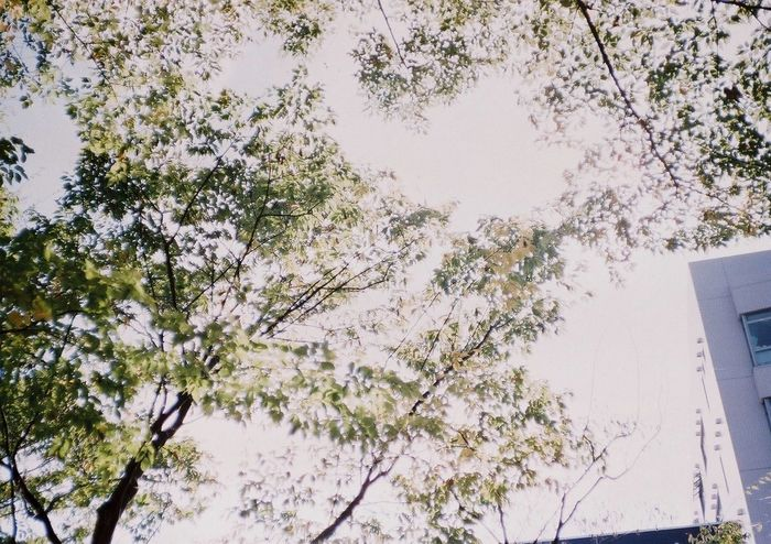 Branch Day Film Fujifilm Growth Konicac35 Low Angle View Nature No People Outdoors Sky Tree
