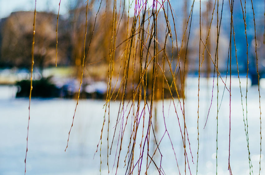 Beauty In Nature Boston Public Garden  Close-up Day Growth Lake Nature No People Outdoors Tranquility Twig Water
